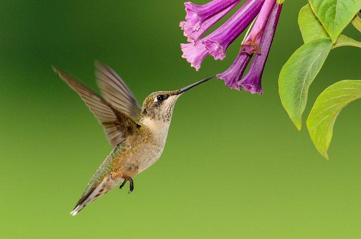 Kolibri, Fliegen, Fütterung, Tierwelt, Natur, Flucht                                                                                                                                                     Mehr