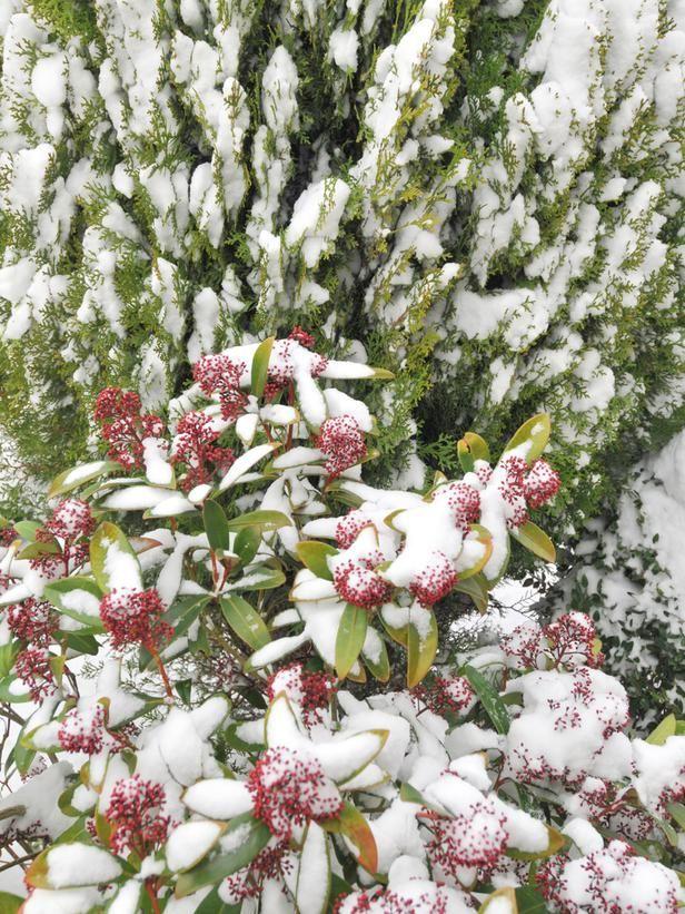 32 Best Winter Shrubs & Bushes Images On Pinterest