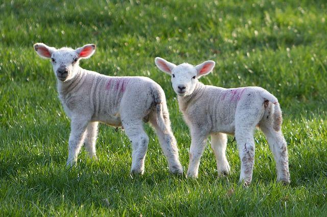 Free photo: Sheep, Lamb, Animal, Farm, Rural - Free Image on Pixabay - 2897271