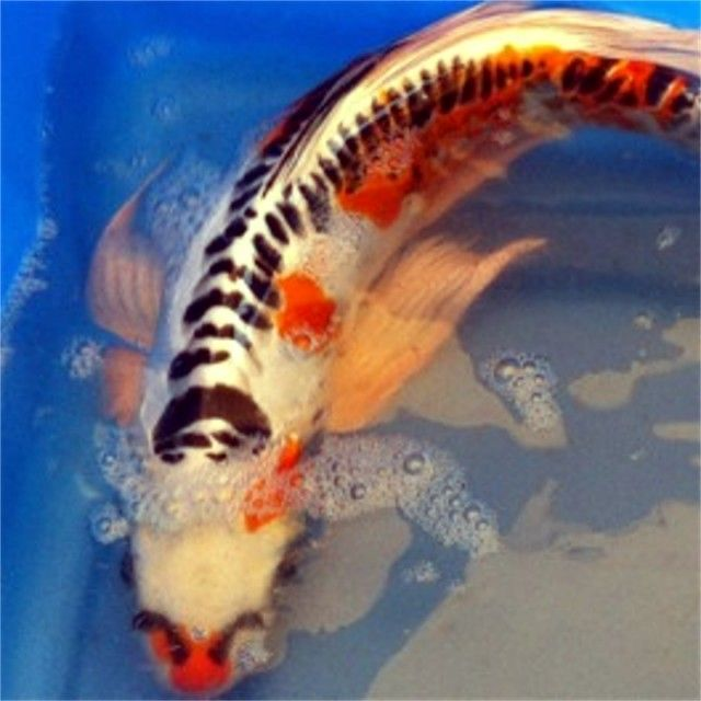 The 25 best koi for sale ideas on pinterest ponds for for Benigoi koi for sale