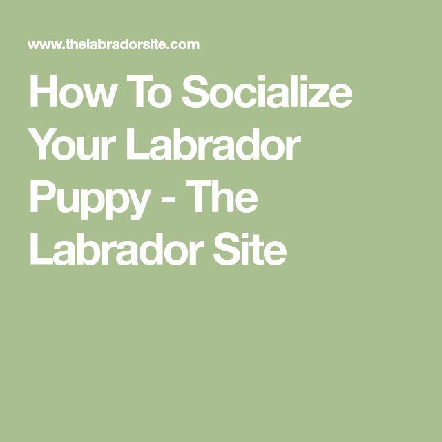 How To Socialize Your Labrador Puppy - The Labrador Site