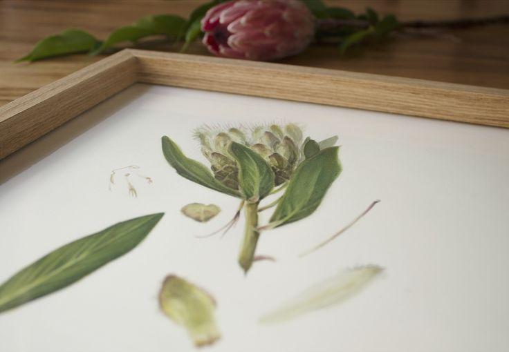 Botanical illustration by PencilheartArt.  #watercolour #protea #painting #art #flowers
