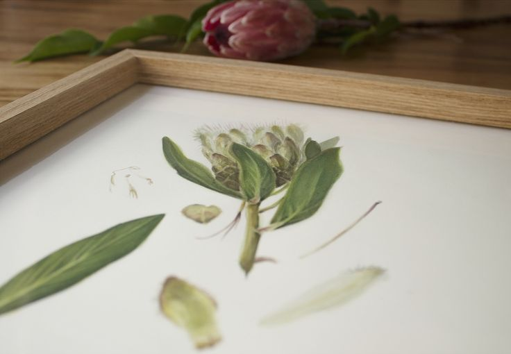Botanical illustration by PencilheartArt.  #watercolour #protea #painting #art #flowers