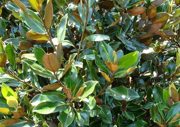 Magnolia grandiflora 'little gem'-- leaves