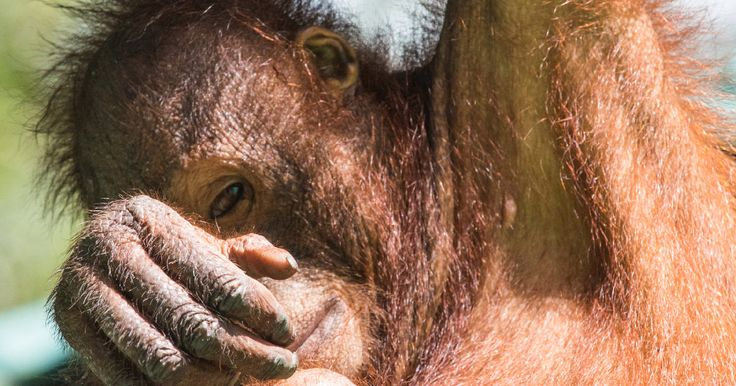Terrible news: the Bornean #Orangutans are now on the very brink of extinction. https://secure.greenpeace.org.uk/page/s/orangutan-endangered-signup/?source=em&subsource=8K150 #nature