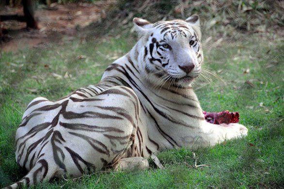 India: el cachorro de un tigre blanco está perdiendo sus ...