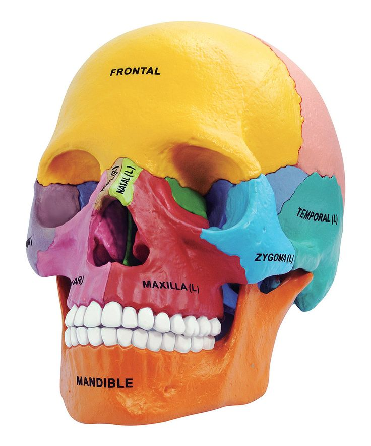 Another great find on #zulily! 4-D Didactic Skull Model by TEDCO #zulilyfinds