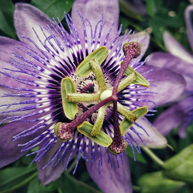 Passiflora Known Also As The Passion Flowers Or Passion Vines Is A Genus Of About 550 Species Of Flowering Plants The Passion Vine Planting Flowers Passiflora