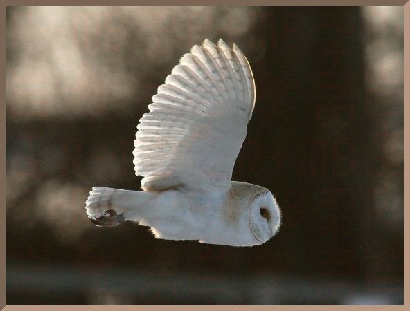 Barn Owl in Flight by vutrax #Barn_Owl #Photography #vutrax