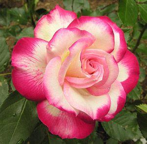 Hybrid Tea / Grandiflora Rose 'Cherry Parfait'. I had this one- not very vigorous, but lovely.