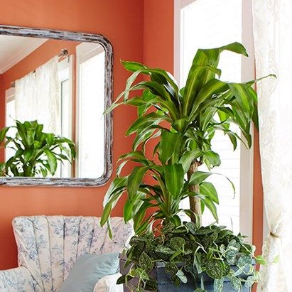 corn plant is one of the most common and easy to grow houseplants around learn how to grow corn plant with tips from the costa farms indoor plant experts