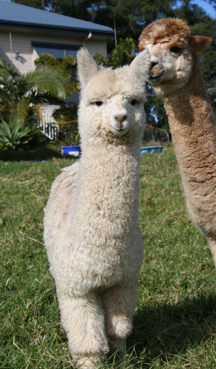 ky the baby boy alpaca