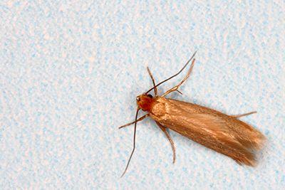Mediterranean Flour Moth Infestation - How it happens - https://www.diigo.com/user/apolloxaa
