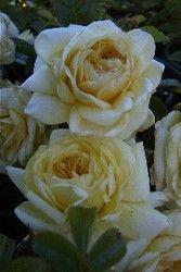 Faceys Nursery - Growers of Quality Nursery Stock Since 1959 - Rose 'Meidiland Sunny' NEW