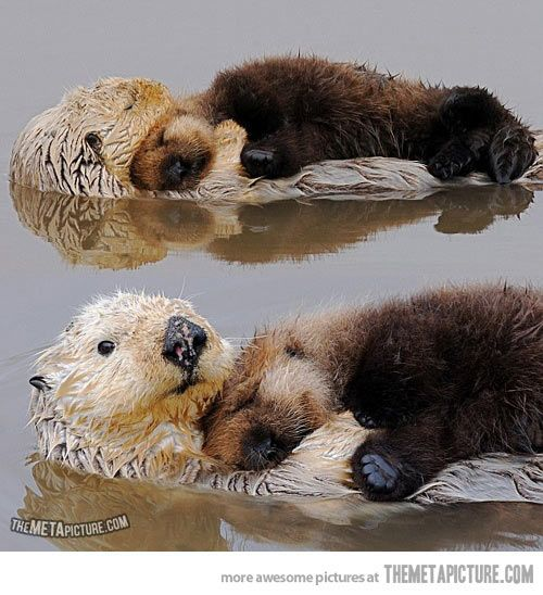 Otters always look after each other…