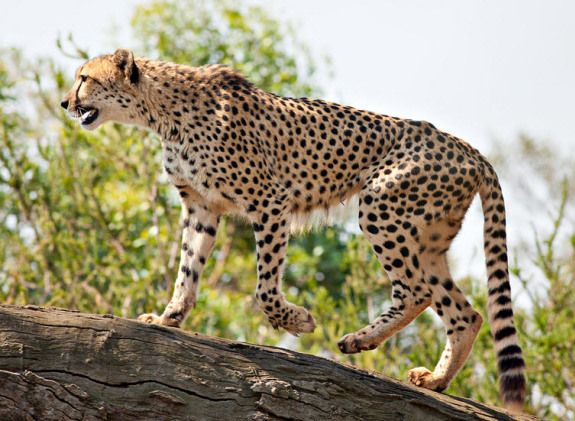 Most of them need impressive speed to escape from predators or catch preys. Below is a close look at World's Top 10 Fastest Mammals.