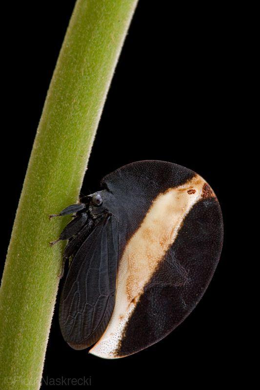 Tree hopper - Membracis zonata -  Guyana