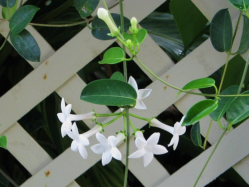 stephanotis | Stephanotis Flowers - Silk & Stephanotis Wedding Flowers