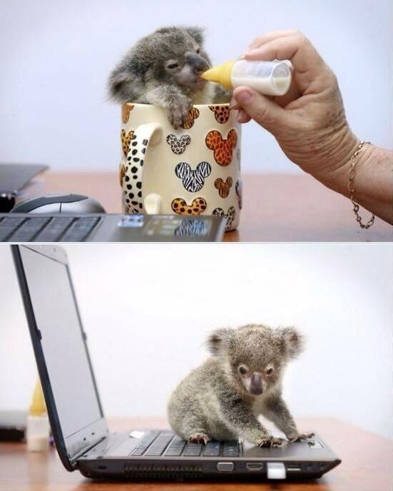 Rescued baby koala