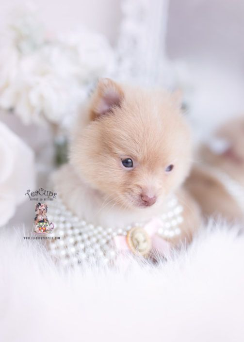 Cream Pomeranian Puppy For Sale Teacup Puppies 315 Cuteteacuppuppies Cream Pomeranian Puppy For Sale Teacup Puppies 315 Cuteteacuppuppies In 2020 Teacup Puppies Pomeranian Puppy Puppies