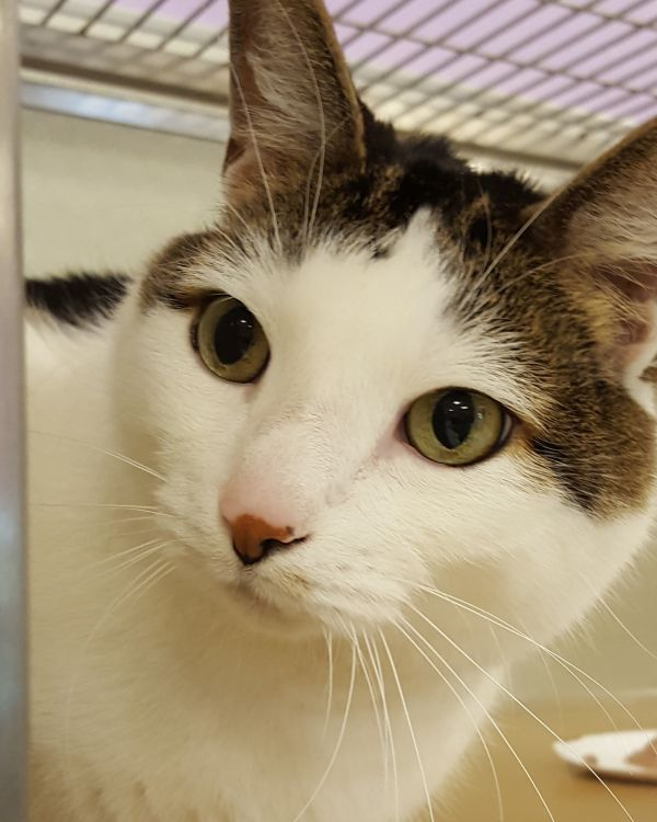 Cats For Adoption Petfinder Kitten Adoption Cats And Kittens Cute Animals Images
