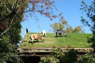 Door County, Wisconsin - Goats on the roof of a Swedish restaurant