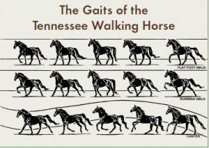 The Aspiring Equestrian: Tennessee Walking Horse