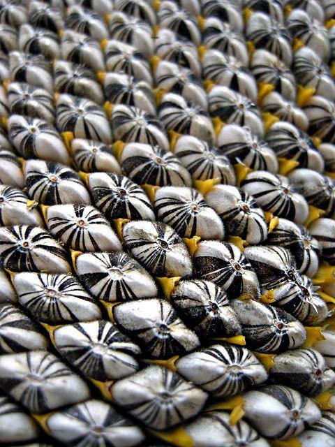 sunflower seeds golden ration fibonacci archimedian spiral in nature