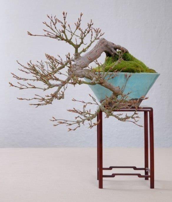 17522 besten bonsai bilder auf pinterest natur html und for Bonsai hydrokultur