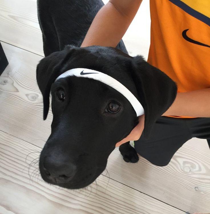 Misha the #tennisdog #tennis #labrador #buldog #dog #dogsofinstagram #pet #pets #dogs #petsofinstagram #cute #puppy #dogstagram #love #instadog #dogoftheday #puppylove #puppiesofinstagram #dogslife #doglover #cutedog #ilovemydog #funny #nike #puppyoftheday #puppygram #puppylover #puppylife #instapuppy #dogsdaily