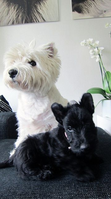 217 best to the fuzzy white faces of Westies images on ...