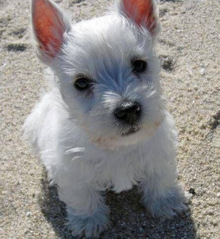 Vous aimez les West Highland White Terrier ? Faites la connaissance de Luna (10 mois) ou d'un autre chien West Highland White Terrier : 401 photos de West Highland White Terrier !