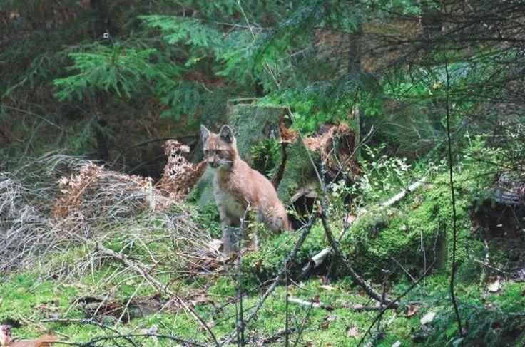 Park Dzikich Zwierząt Kadzidłowo zlokalizowany jest na terenie Puszczy Piskiej i świetnie nadaje się na atrakcje na weekend.  Zwięrzęta żyją tu w warunkach zbliżonych do naturalnych, jednak większość z nich jest zaprzyjaźniona z człowiekiem (w przypadku niektórych możliwe jest wejście na wybiegi a nawet ich karmienie i głaskanie).  Więcej: http://www.nocowanie.pl/noclegi/kadzidlowo/atrakcje_przyrodnicze/141302/