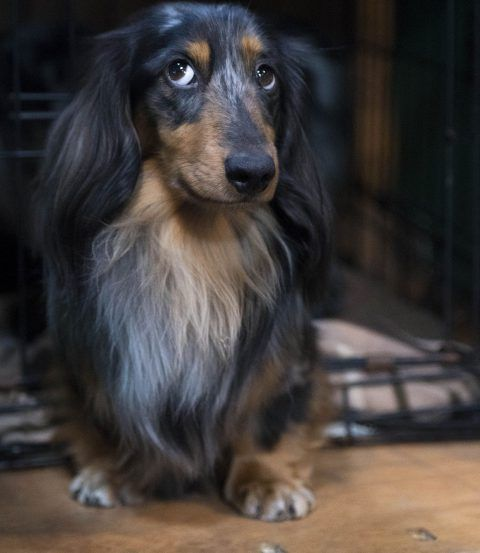 Willowheath Hendrix Dachshund Min Long Haired Dachshund Puppy
