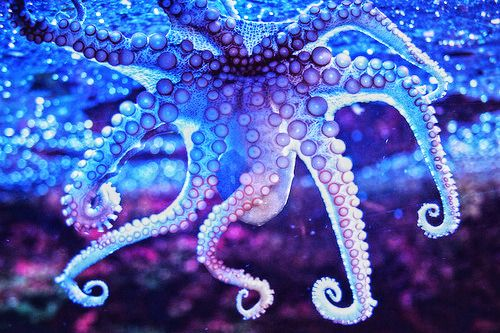 octopus. blue. purple. eight-legs. underbelly. bottom. glass. suction. curled. | RP »