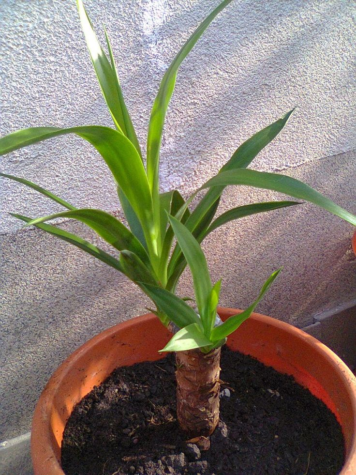 Adriana  Hobby: Plante decorative -  Yucca