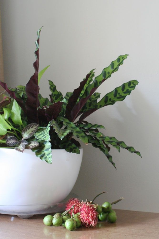 50 Best Calathea Images On Pinterest Indoor Plants