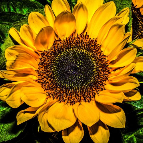 Heart of the Sunflower… some days you just have to create your own sunshine. Even if you have to use flash to do it :-) Shanghai, China. Friday, 13th May, 2016. Photography Wil Graham