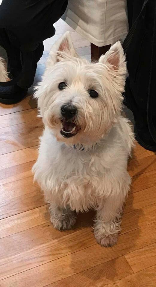 Adopt Miles Tiko On Petfinder Westie Puppies Westie Dogs Animals