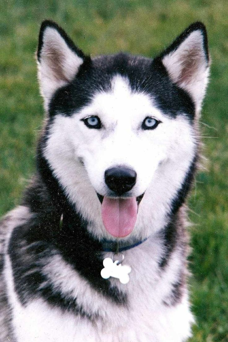Pin By Shortisweetz On Husky S Of All Sorts White Husky
