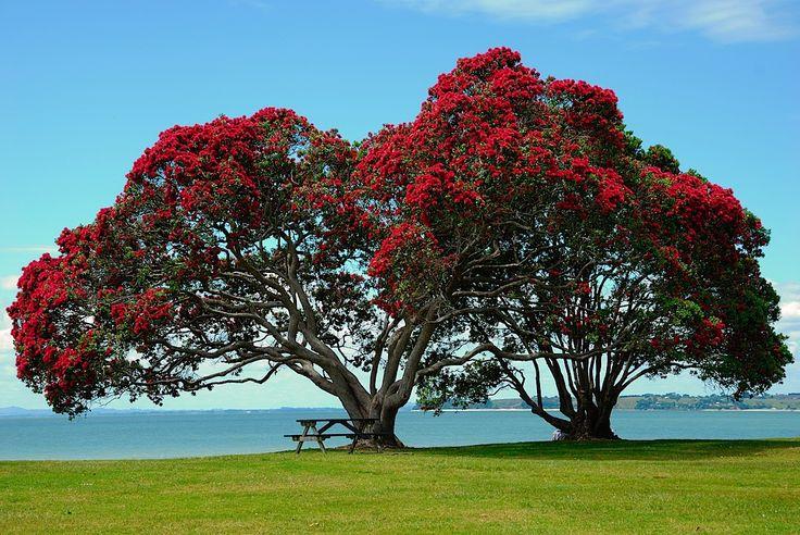 Merry Christmas to all pinners! I pin you a Pohutakawa (New Zealand Christmas tree) Christopher