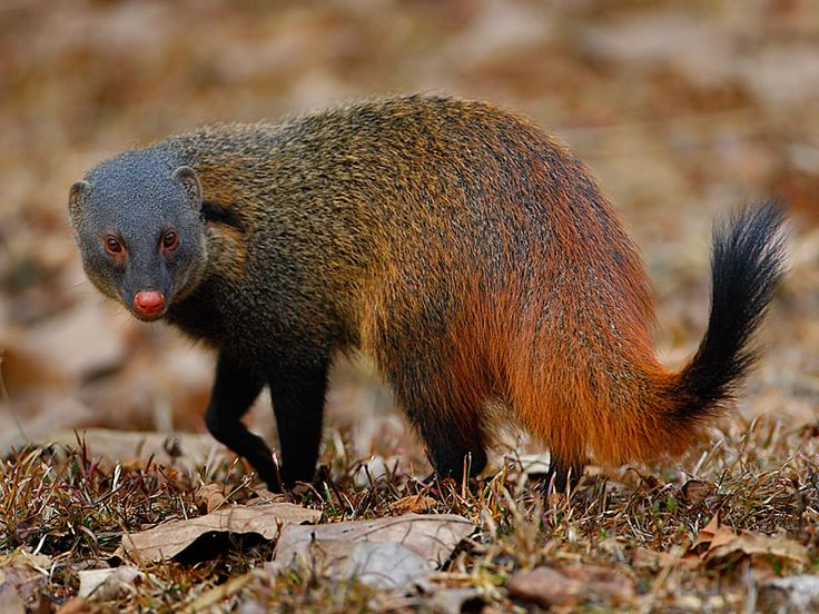 38 best Mongooses images on Pinterest | Mongoose, Mammals and Wildlife