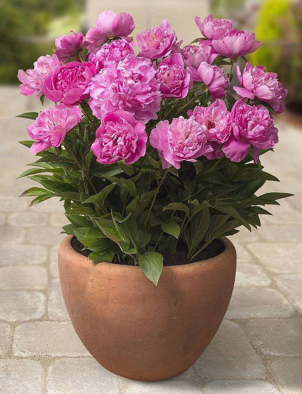 Peony in pot. Check out 44 Best Shrubs for Containers. You'll like to have some of these shrubs right away in your container garden.