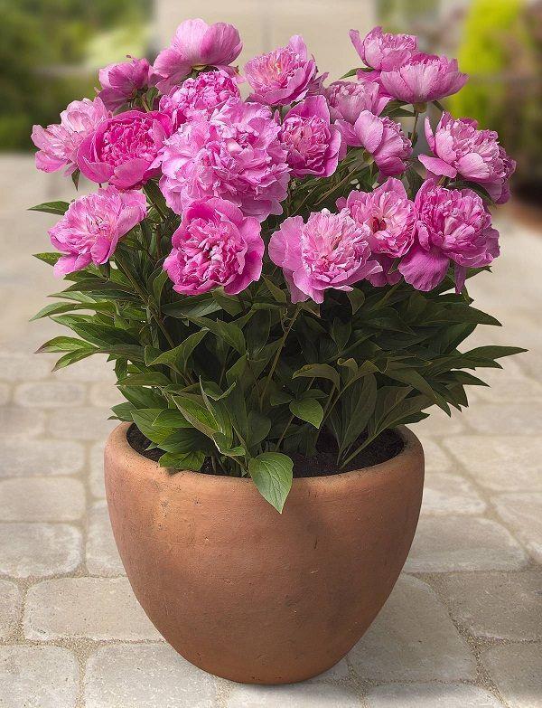 Garden Pot Plants 9357 best quintais e varandas images on pinterest gardening 44 best shrubs for containers workwithnaturefo