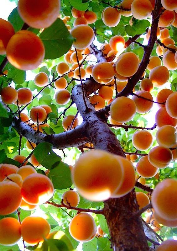 arbre fruit orange  tree