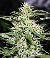 Jack Herer – мощный индичный сорт конопли, который благодаря своему высокому качеству даже через десятки лет будет оставаться в тренде и считаться востребованным сортом марихуаны.