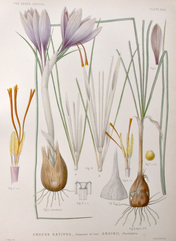 """...wrote George Maw in his """"A Monograph of the Genus Crocus"""", published in London, 1886... """"...I group as varieties of Crocus sativus several Crocuses which previous writers deal with as separate species...Var. I. Orsinii. Of the wild forms, Crocus Orsinii of Parlatore, most nearly resembles the cultivated Saffron; indeed there is nothing to distinguish it from the type except that the pistil is shorter and the stigmata are more erect..."""""""
