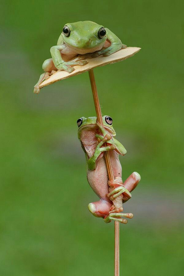 froggie balancing act
