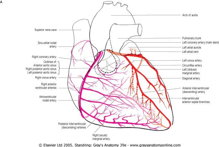 Coronary Circulation Anatomy