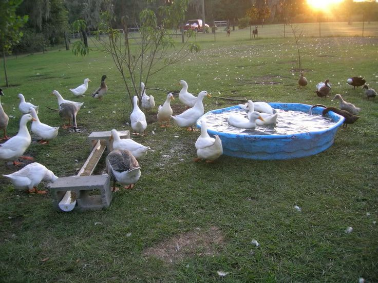74 Best Images About Duck Pools On Pinterest Baby Pool Ponds And Pools